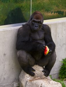 Sedgwick County Zoo Downing Gorilla Forest